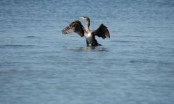 un cormorano nella laguna veneta (foto: Mario Fletzer)