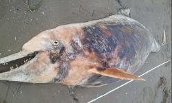 il delfino cadavere rinvenuto dalla polizia provinciale nell'arenile di Vallevecchia